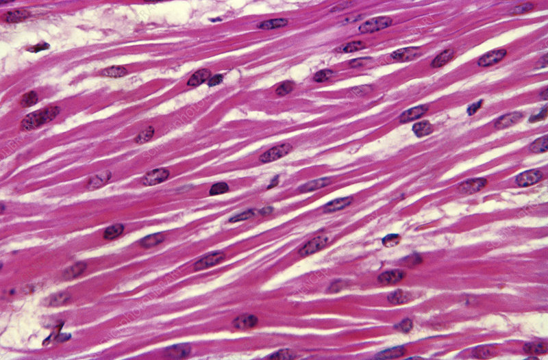 Smooth muscle, light micrograph
