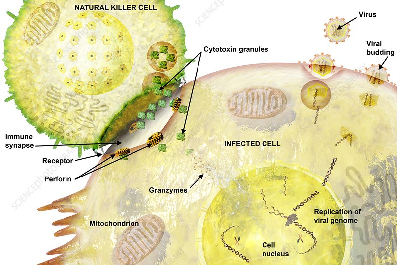 Immune synapse, illustration