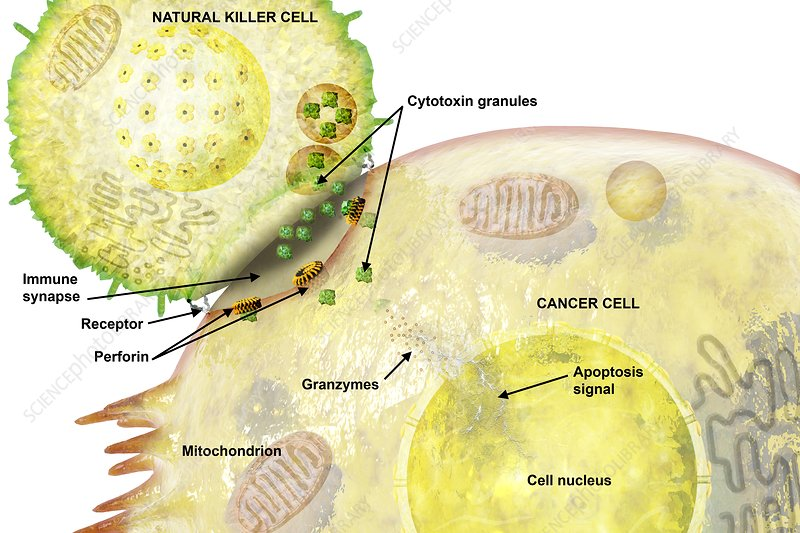 Cancer immune synapse, illustration
