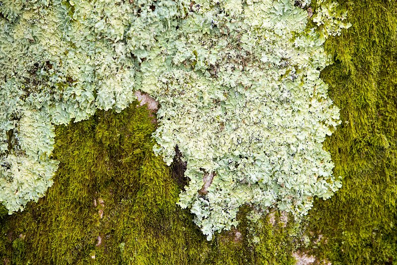Moss and lichen on a tree at Clappersgate