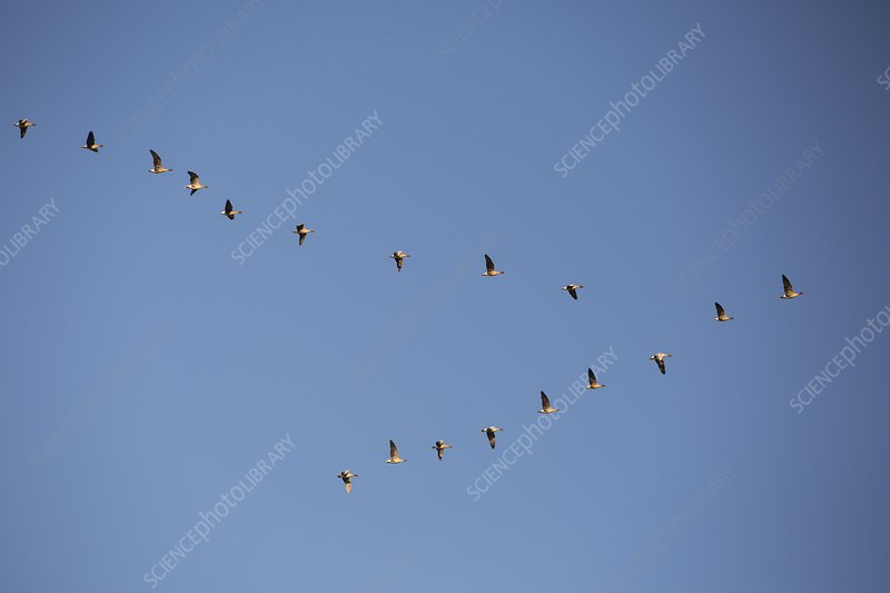 Pink Footed Geese (Anser brachyrhynchus)