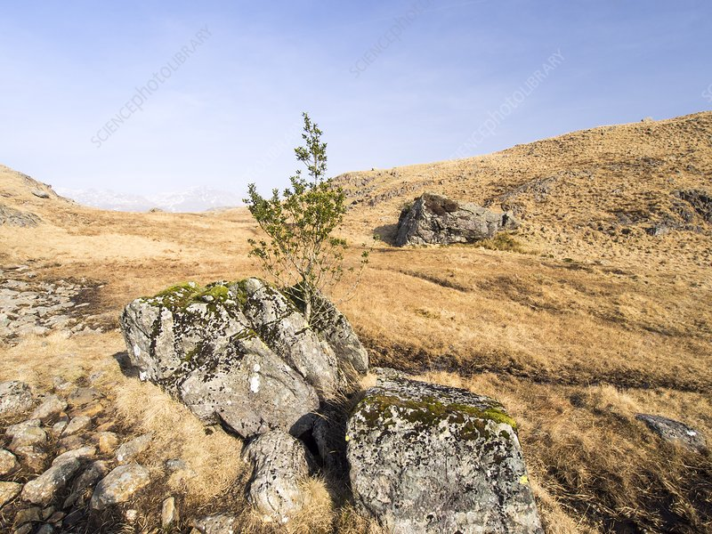 Holly Tree growing in a split rock