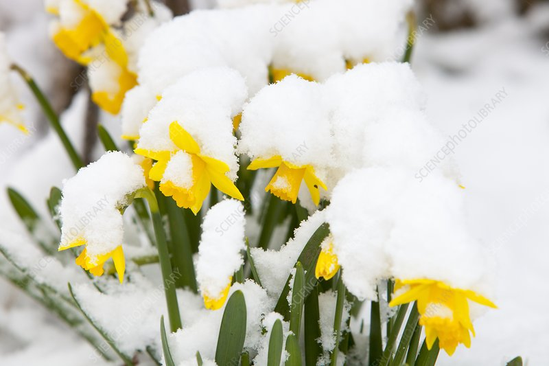 Daffodils covered in snow, Ambleside