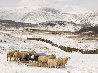 Sheep brave the extreme weather