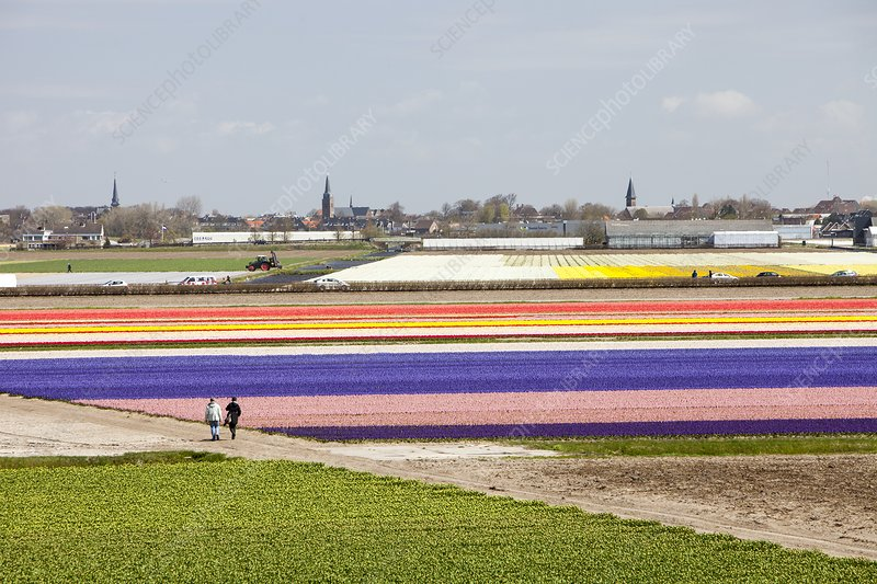 Tulip and hyacinth fields, Netherlands