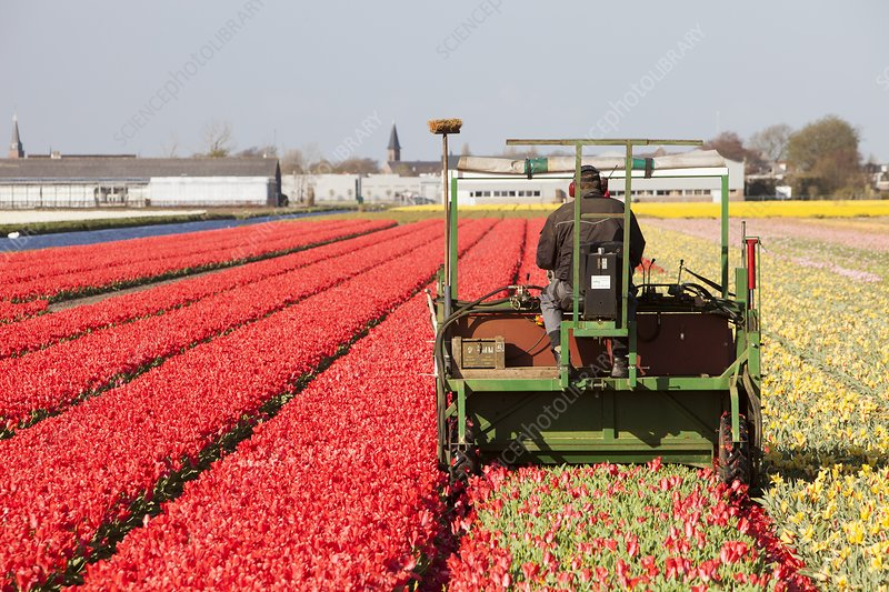 Farmer taking the heads of tulips