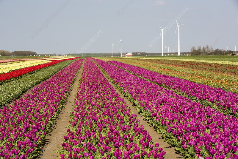 Tulips and wind turbines, Netherlands