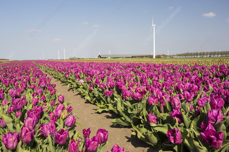 Tulips and wind turbines, Holland