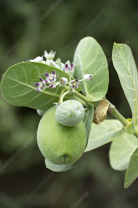 Calotropis procera plant with fruit