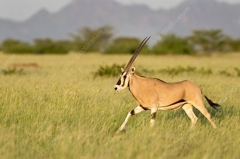 Beisa Oryx running in Awash National Park