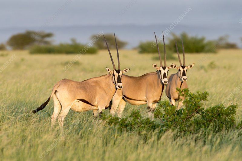 Beisa Oryx herd in Awash National Park