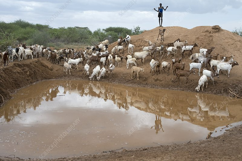 A sheperd tending goats at a waterhole