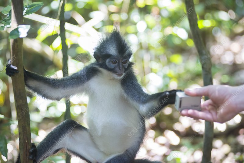 Leaf monkey looking at camera