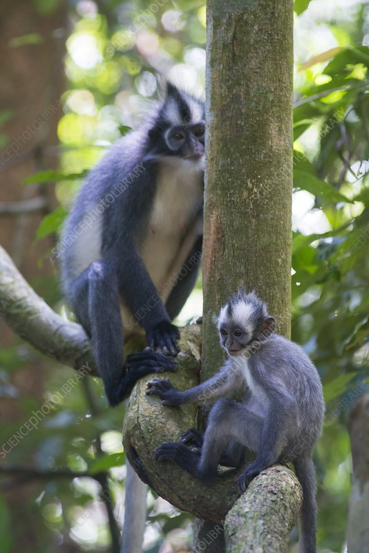 Northern Sumatran leaf monkey
