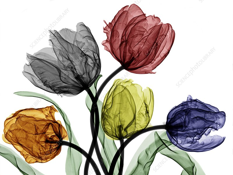 Tulips (Tulipa sp.) flowers, X-ray