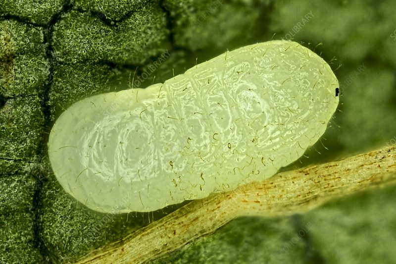 Ant pupa, light micrograph