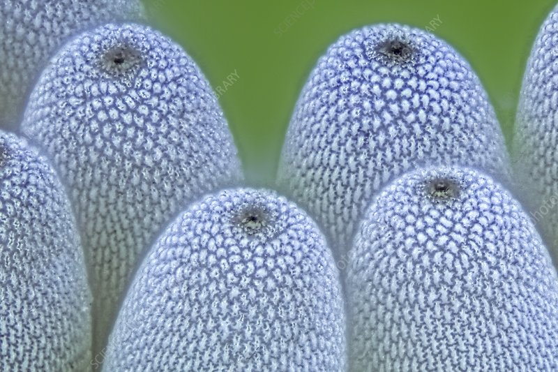 Insect eggs on a leaf, light micrograph
