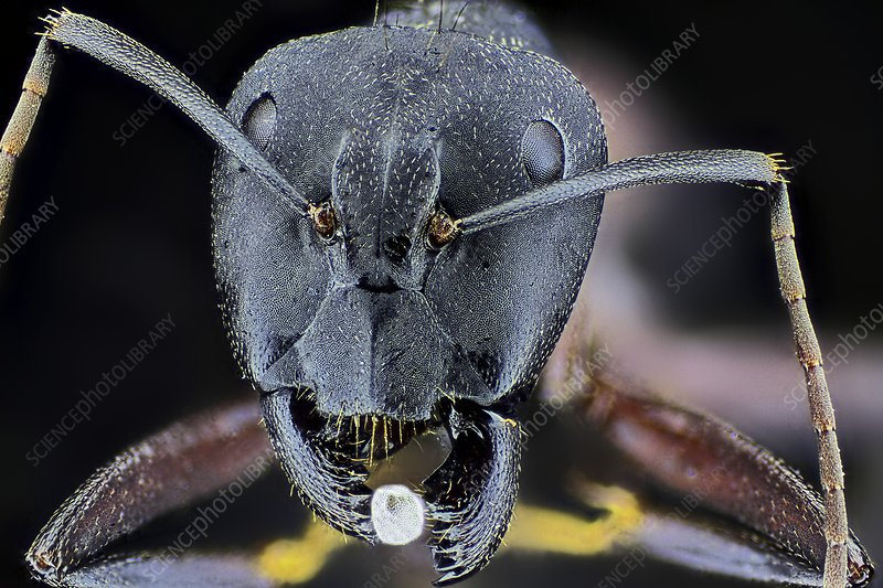 Ant with egg, light micrograph