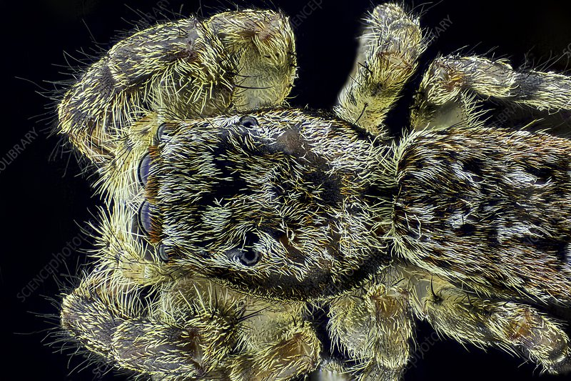 Jumping spider, light micrograph
