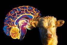 Human brain and beef cow