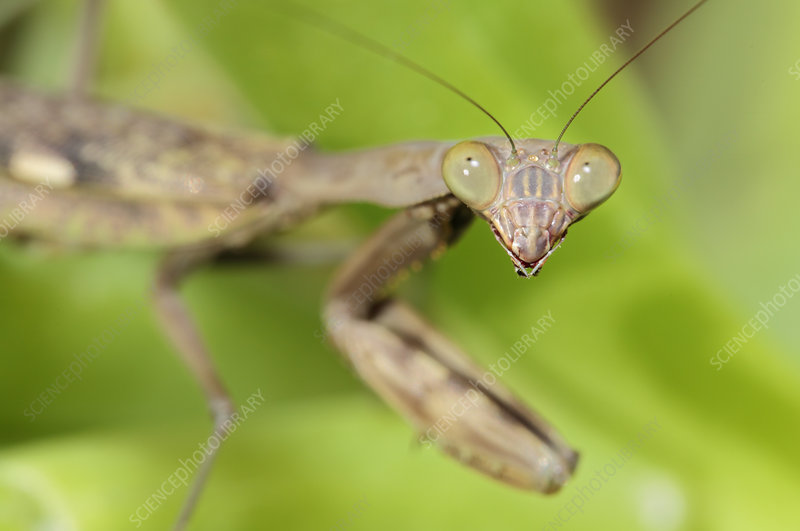 Common mantis