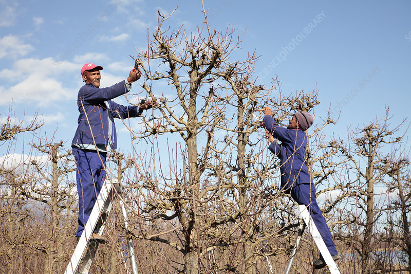 Pear orchard pruning, South Africa