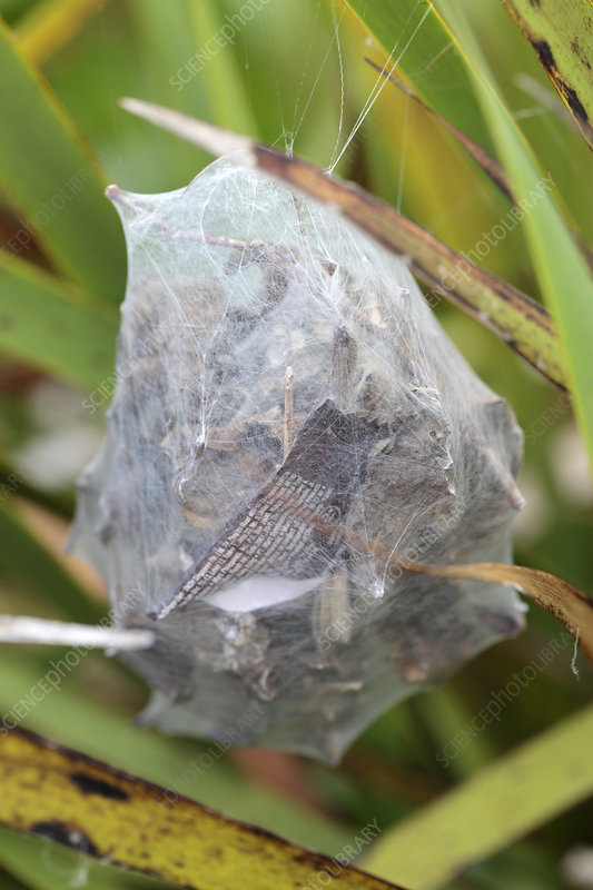 Common rain spider egg sac