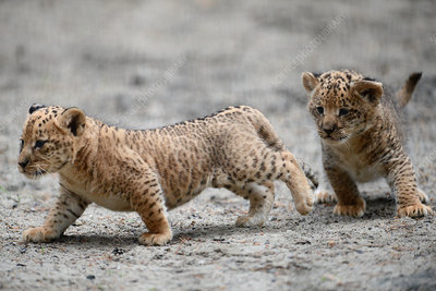 Liger cubs, Russia