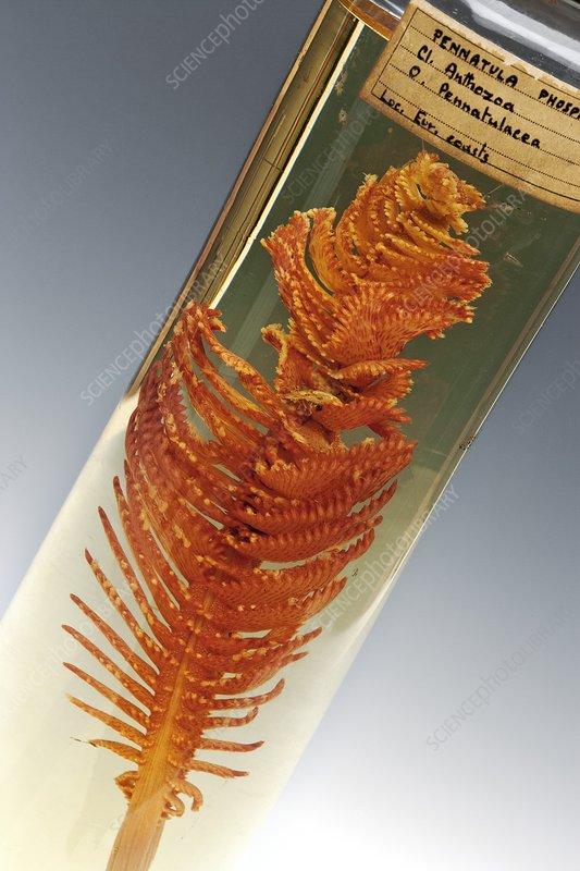 Common sea pen specimen
