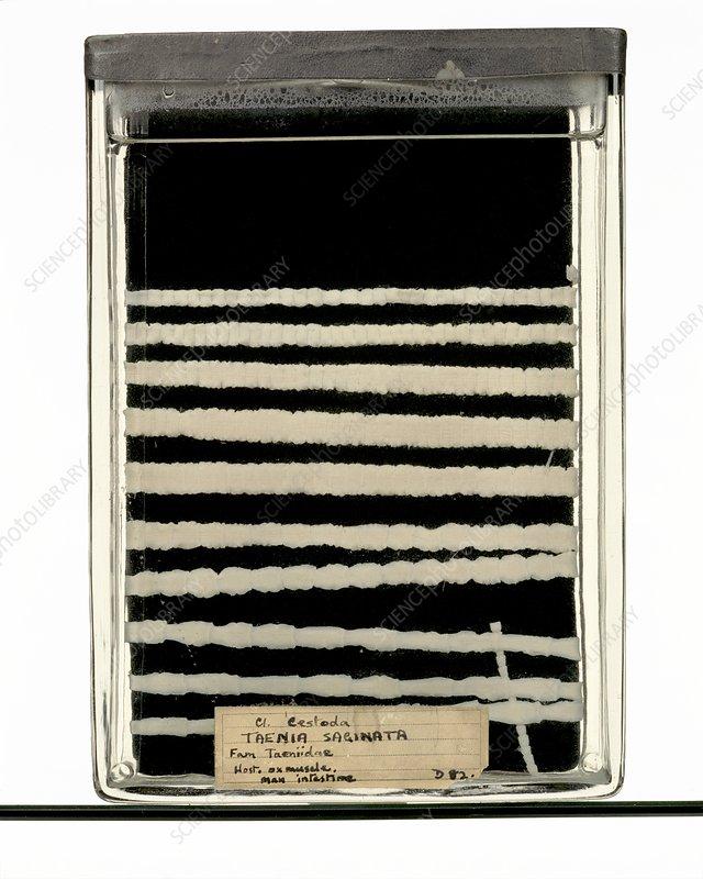 Beef tapeworm specimen