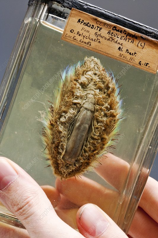 Sea mouse specimen
