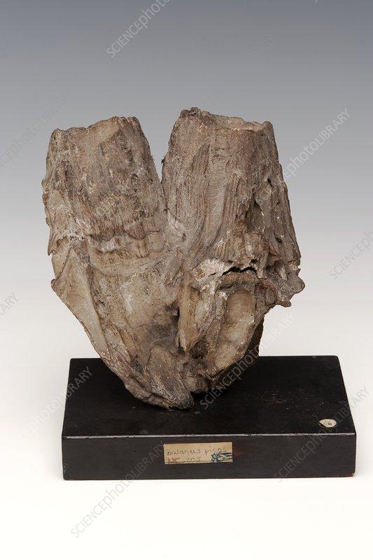 Fossilised barnacles