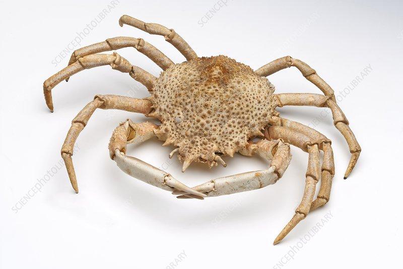 Crab exoskeleton specimen