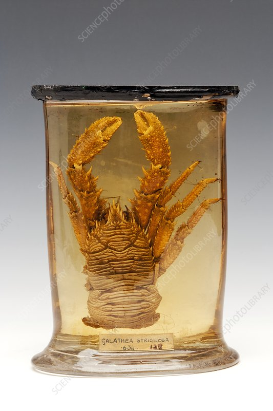 Squat lobster specimen