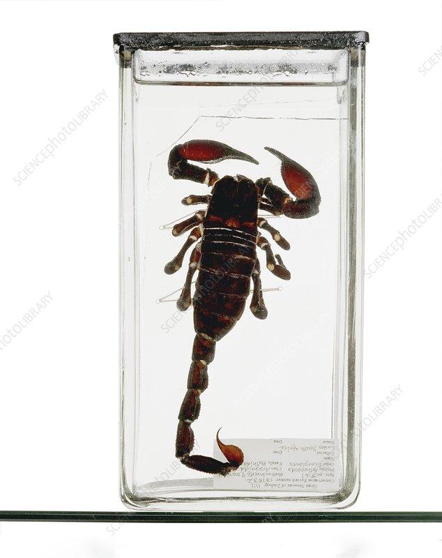 Emperor scorpion specimen