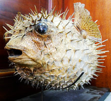 Stuffed porcupinefish