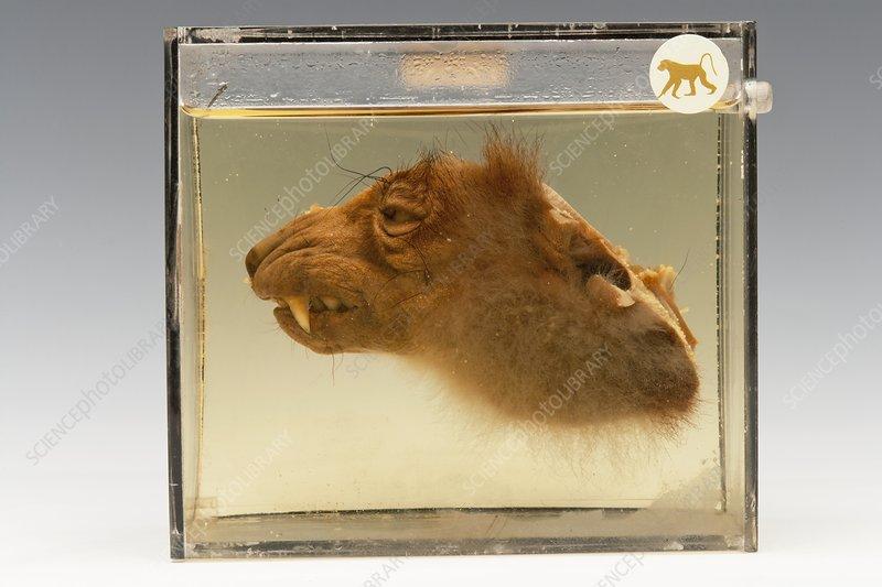 Preserved lemur head