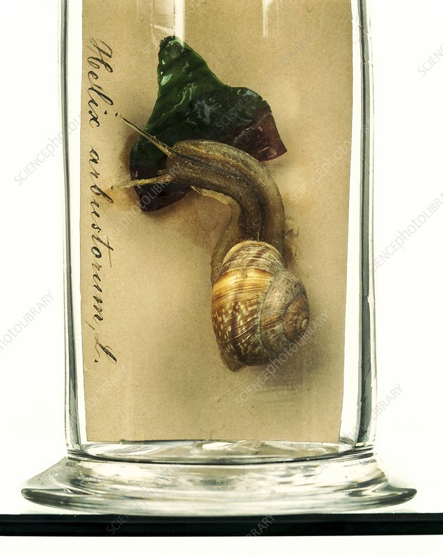 Copse snail, glass model
