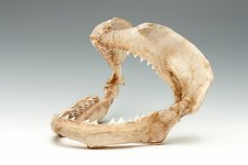 Bull shark jaws, specimen