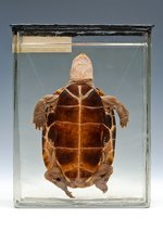 Chinese pond turtle, specimen
