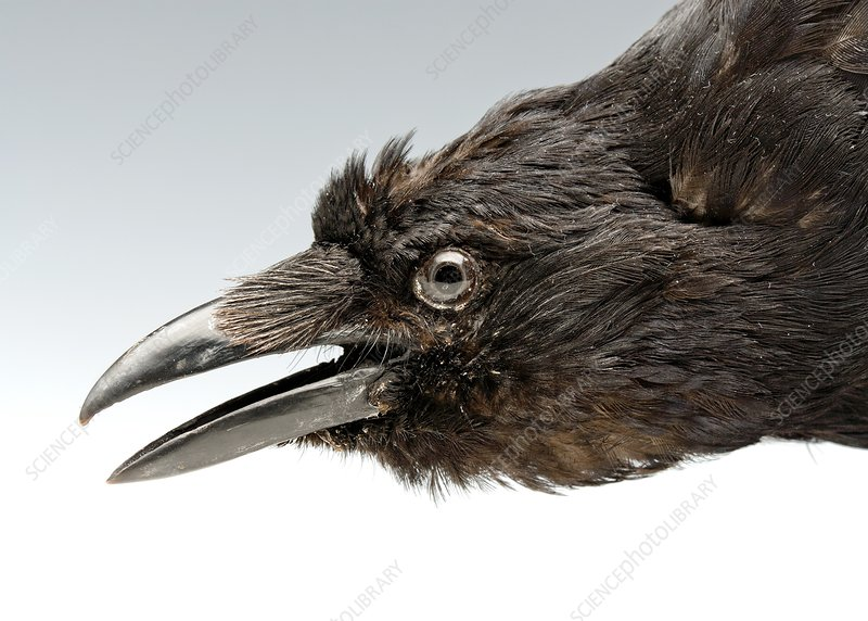 Head of a stuffed carrion crow