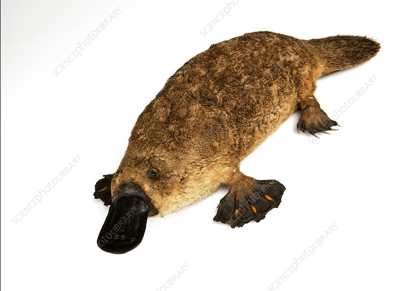 Duck-billed platypus, stuffed