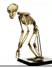 Chimpanzee skeleton