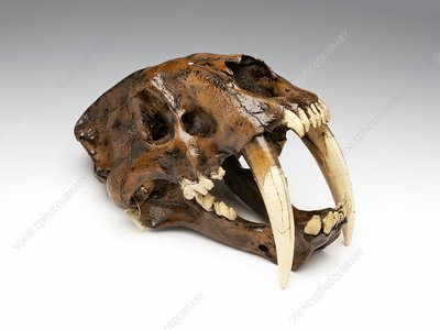 Sabre-toothed cat skull, replica