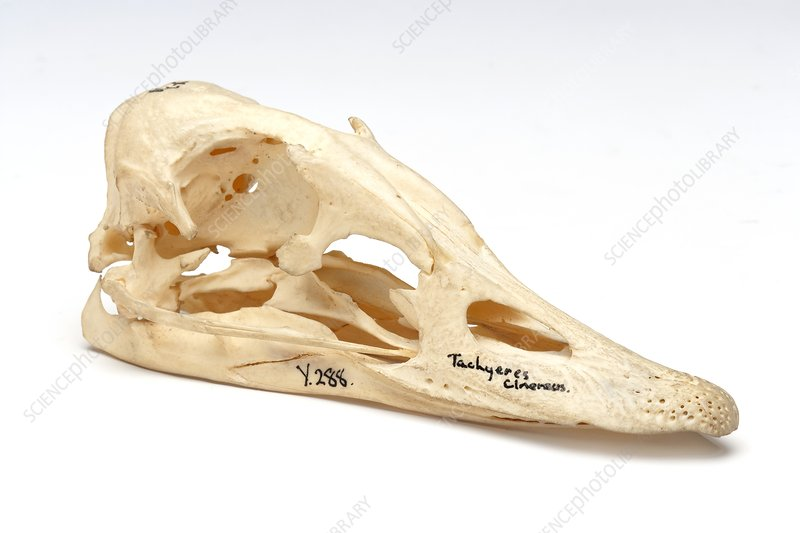Steamer duck skull