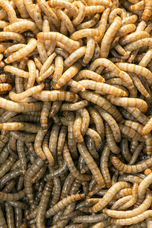 Breeding insects for human consumption