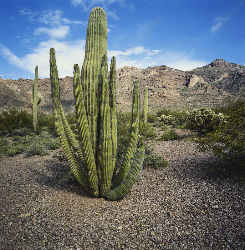 Organ Pipe and Saguaro