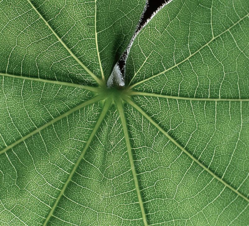 Abutilon Leaf