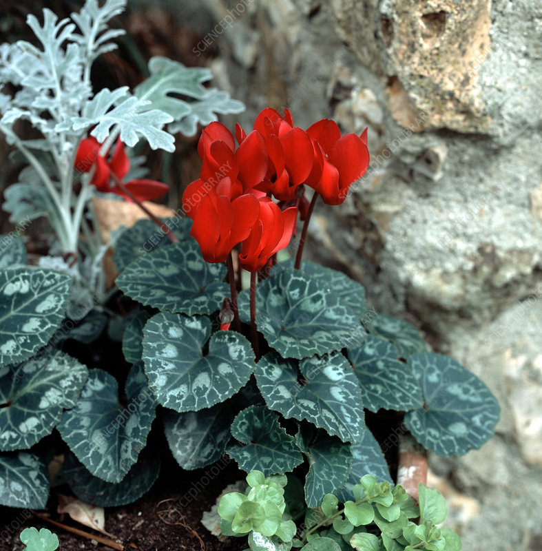 A small fragrant Cyclamen