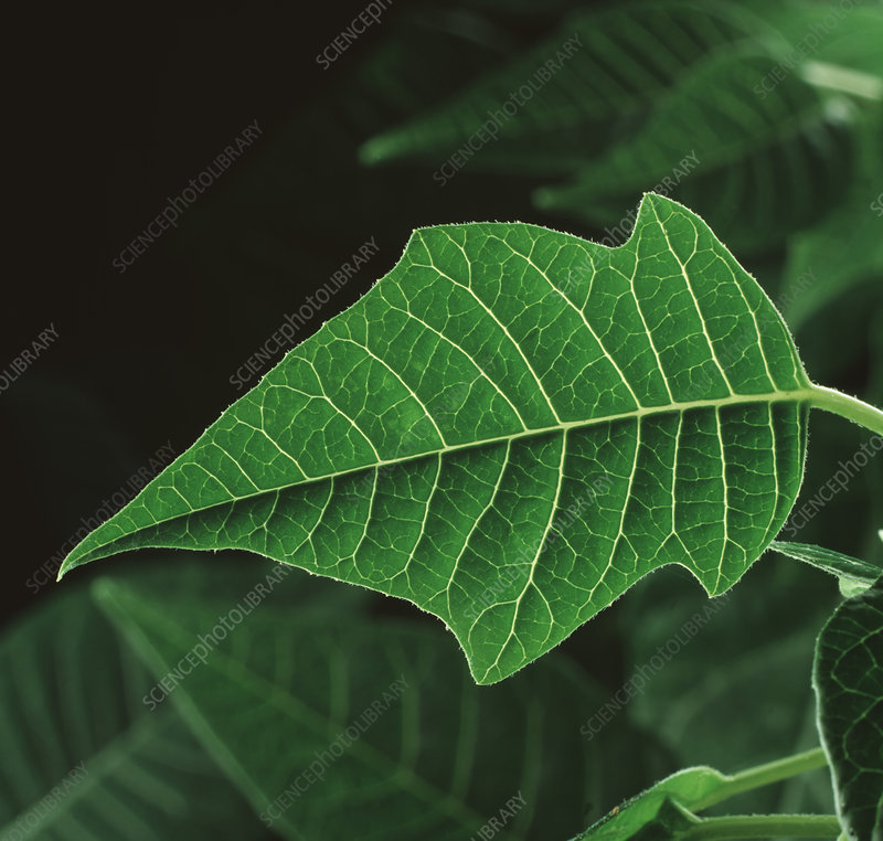 A backlit Poinsettia leaf